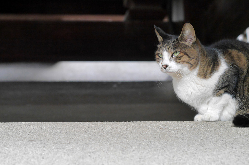 縁の下から見ているキジ白猫1