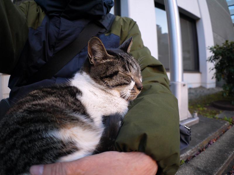 膝で抱かれてるキジ白猫3