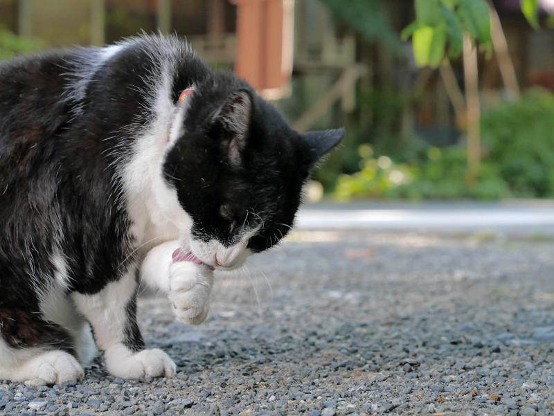 ベロを出して毛繕いする黒白猫1