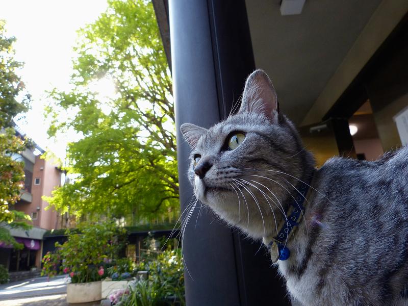 膝に乗ってるサバトラ猫3