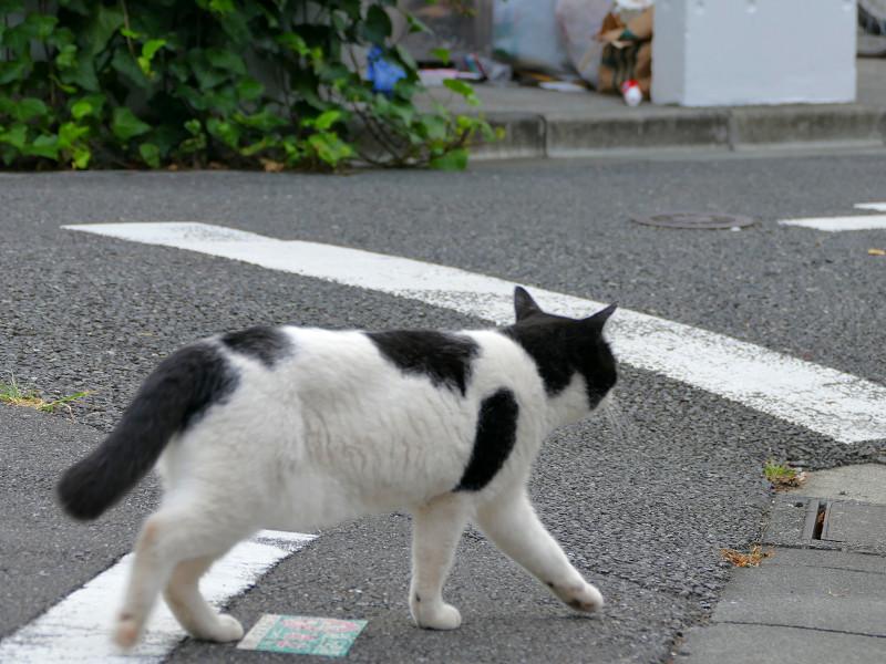 目の前を歩いてる白黒猫1