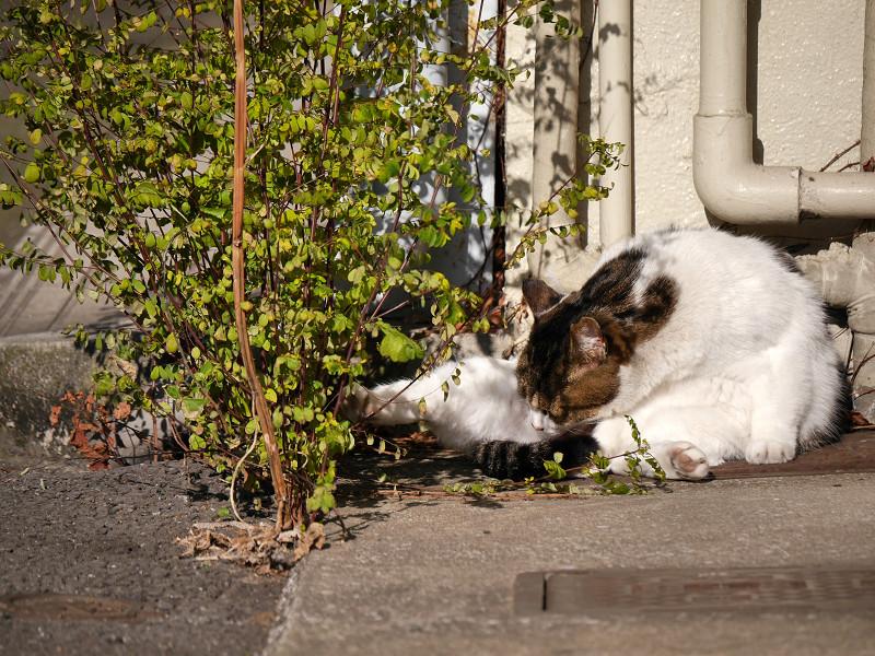 毛繕い再開の白キジ猫1
