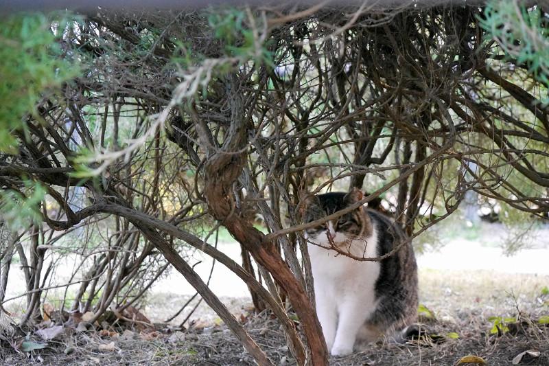 低木とキジ白猫1