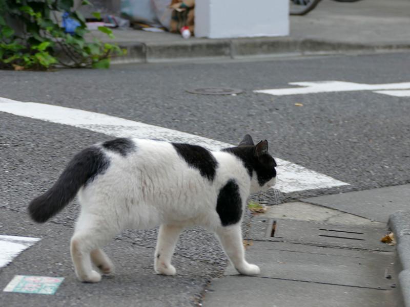 目の前を歩いてる白黒猫2