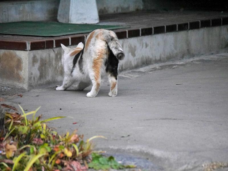 前伸びをする薄い柄の三毛猫2