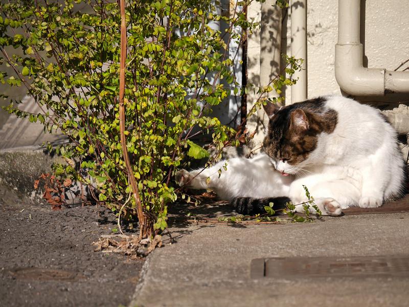 毛繕い再開の白キジ猫2