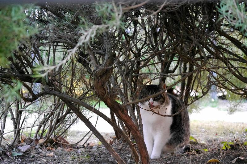 低木とキジ白猫2