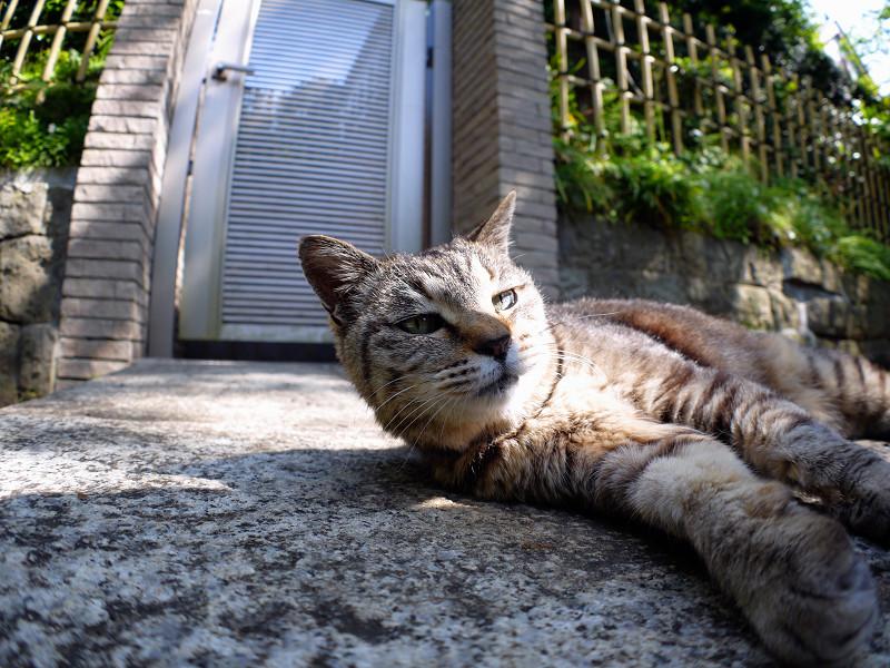 石橋で横になってるキジトラ猫3