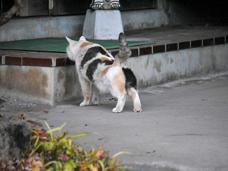 前伸びをする薄い柄の三毛猫3