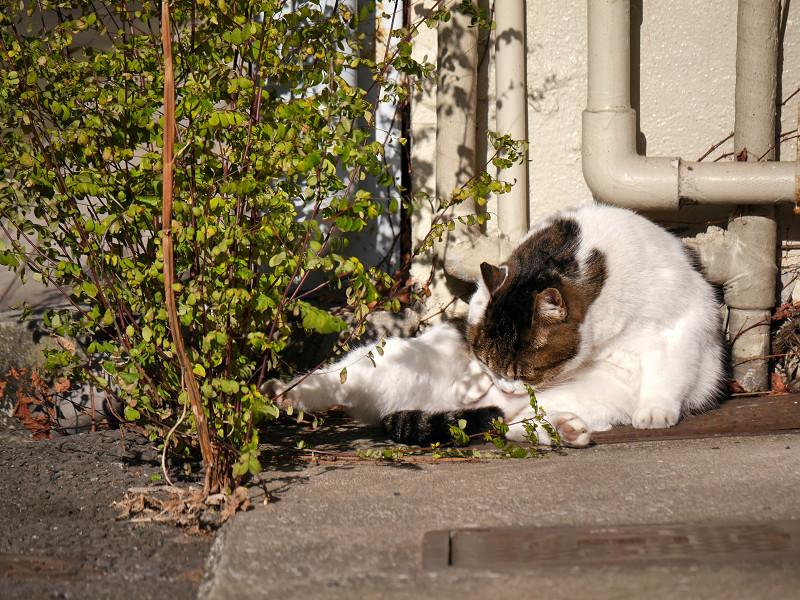 毛繕い再開の白キジ猫3