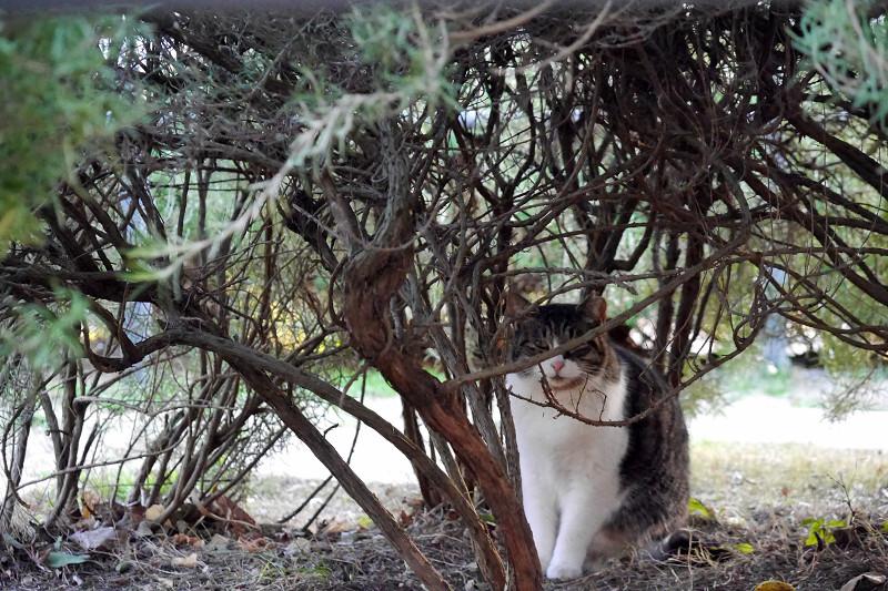 低木とキジ白猫3