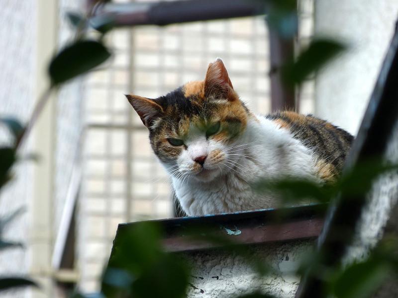 庇から見ている三毛猫1