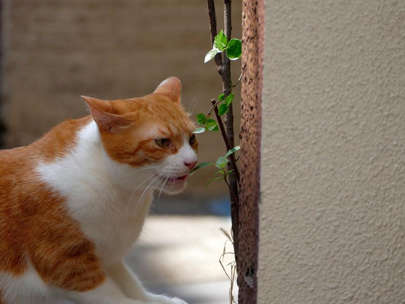 葉っぱをなめてる茶白猫1