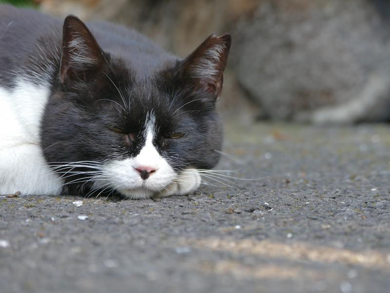 目を閉じる黒白猫1