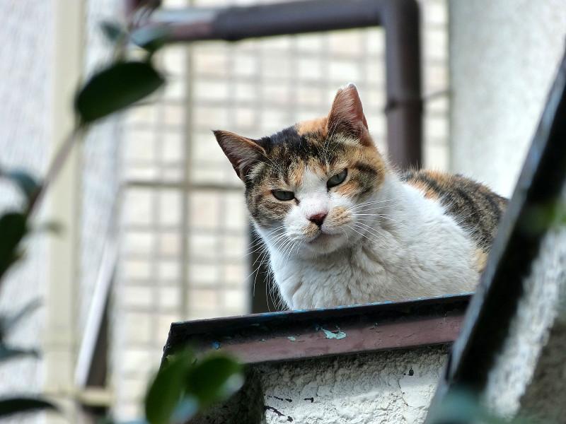 庇から見ている三毛猫2