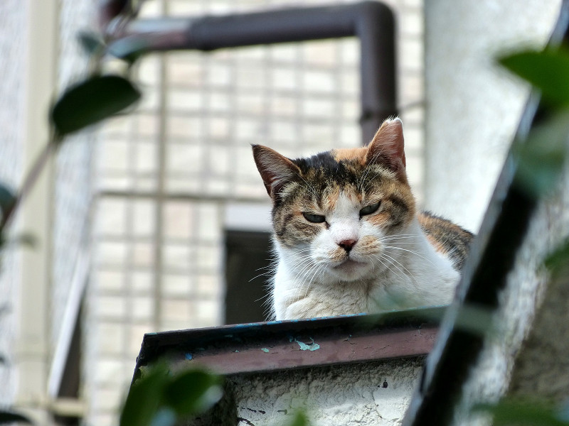 庇から見ている三毛猫3