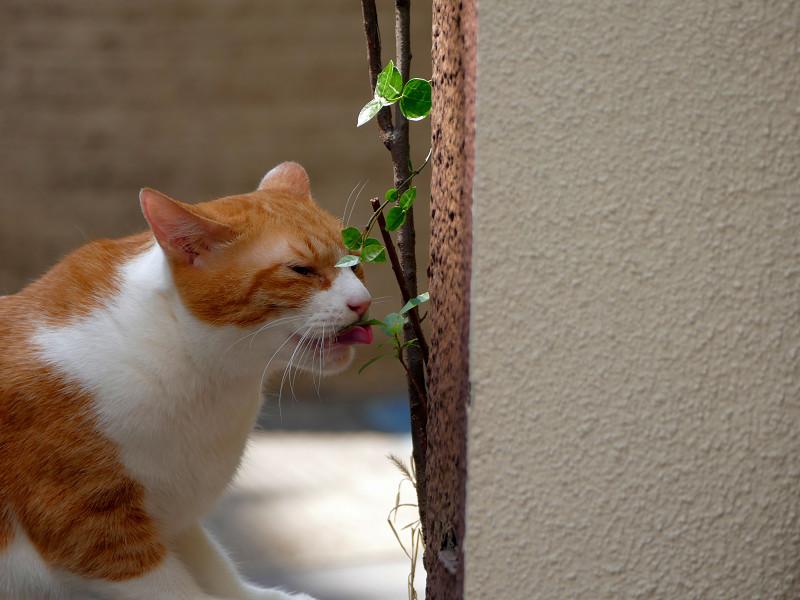葉っぱをなめてる茶白猫3