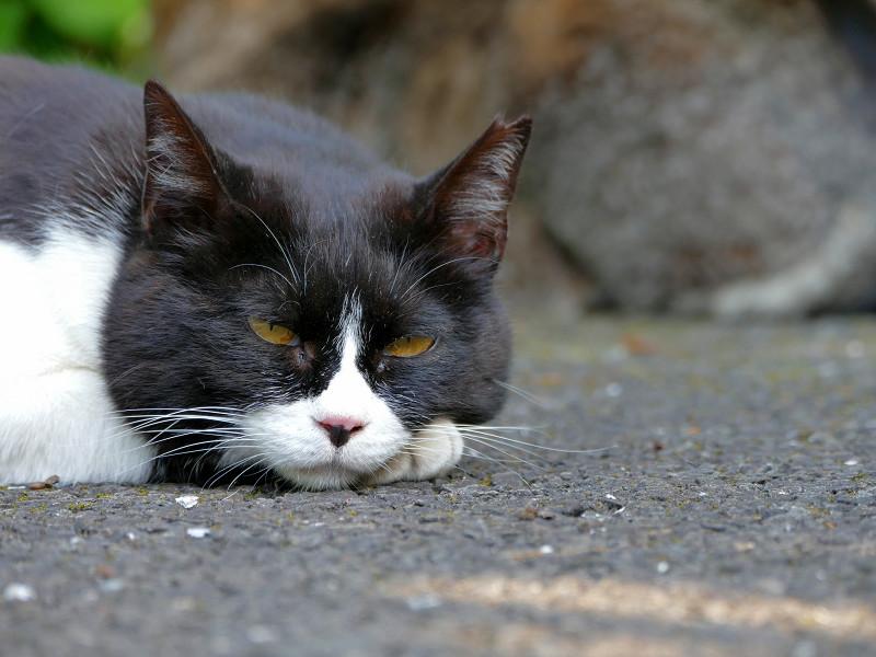 目を閉じる黒白猫3