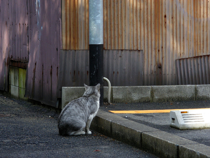 トタン板壁とグレー白猫1