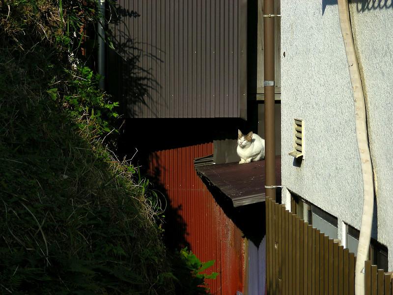 屋根の上の白キジ猫1