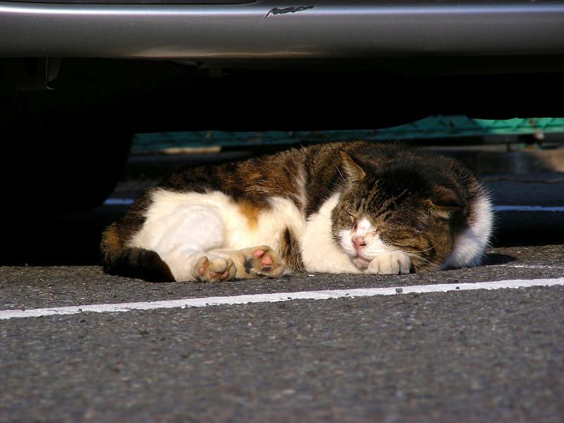 車の下で寝ている丸っこいキジ白猫1