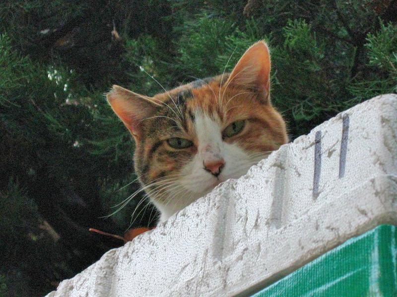 物置の上から見ている三毛猫1