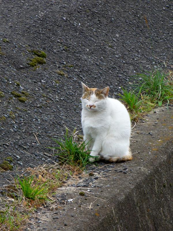 立ち寝している白キジ猫1