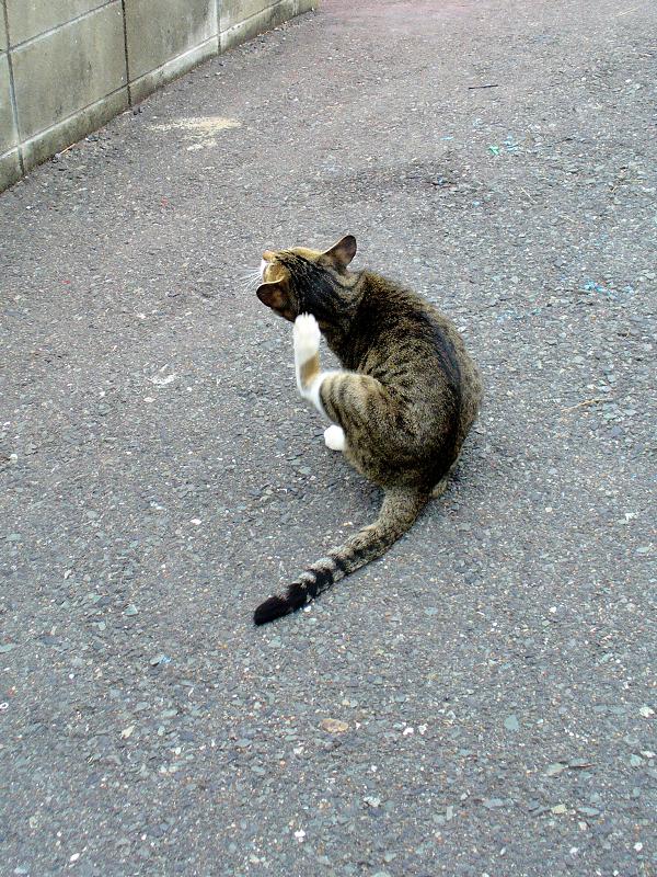 耳をカキカキするキジ白猫1