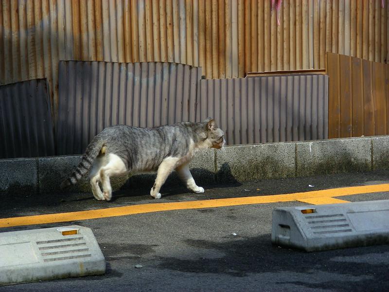 トタン板壁とグレー白猫2