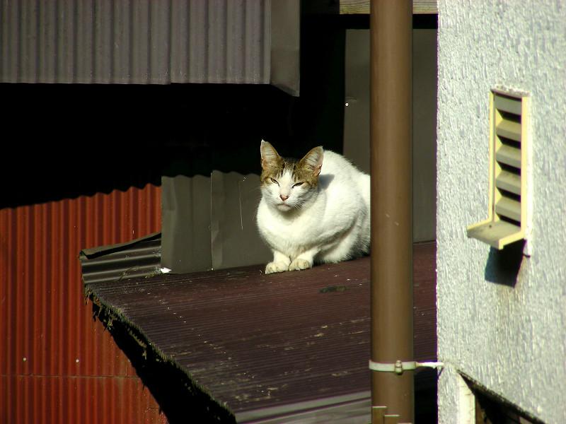 屋根の上の白キジ猫2