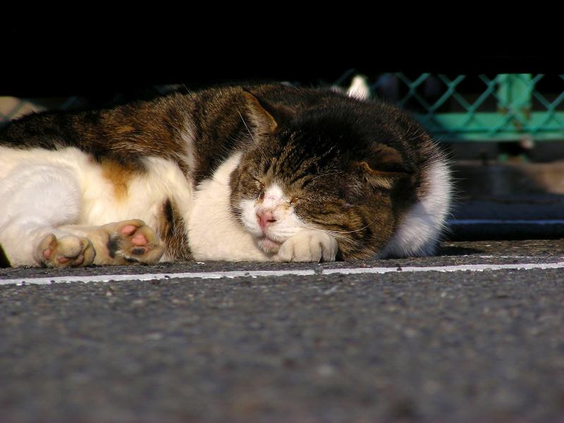 車の下で寝ている丸っこいキジ白猫2