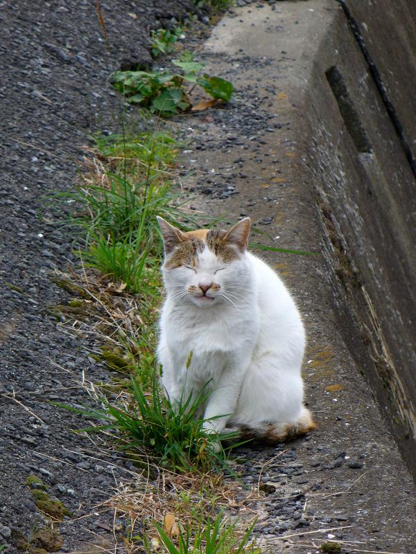 立ち寝している白キジ猫2