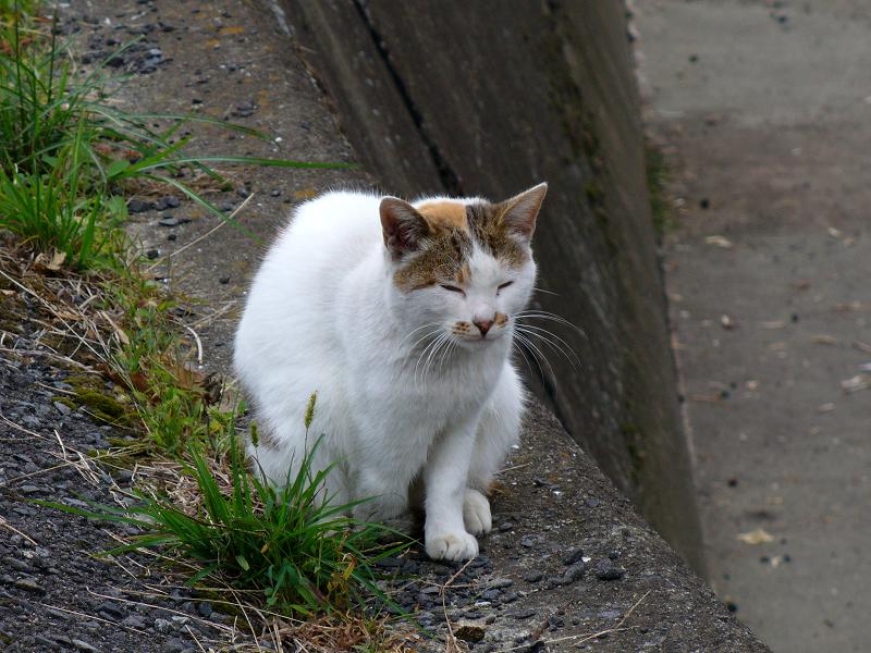 立ち寝している白キジ猫3