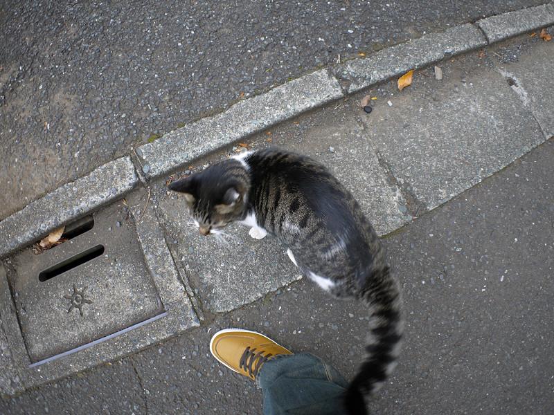 足元のキジ白猫1