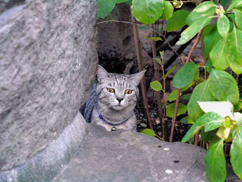 石碑の向こうのサバトラ猫