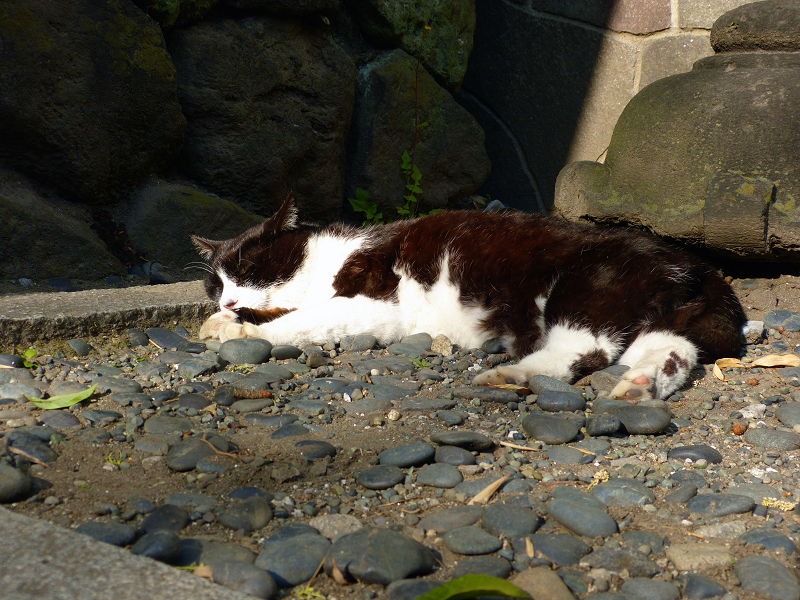 痛そうな所で寝ている黒白猫2