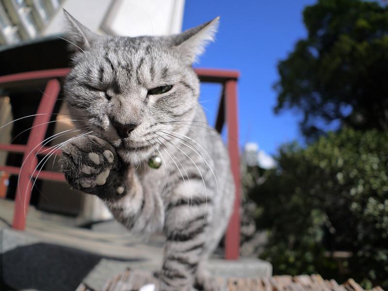 卒塔婆の上でベロを出すサバトラ猫2