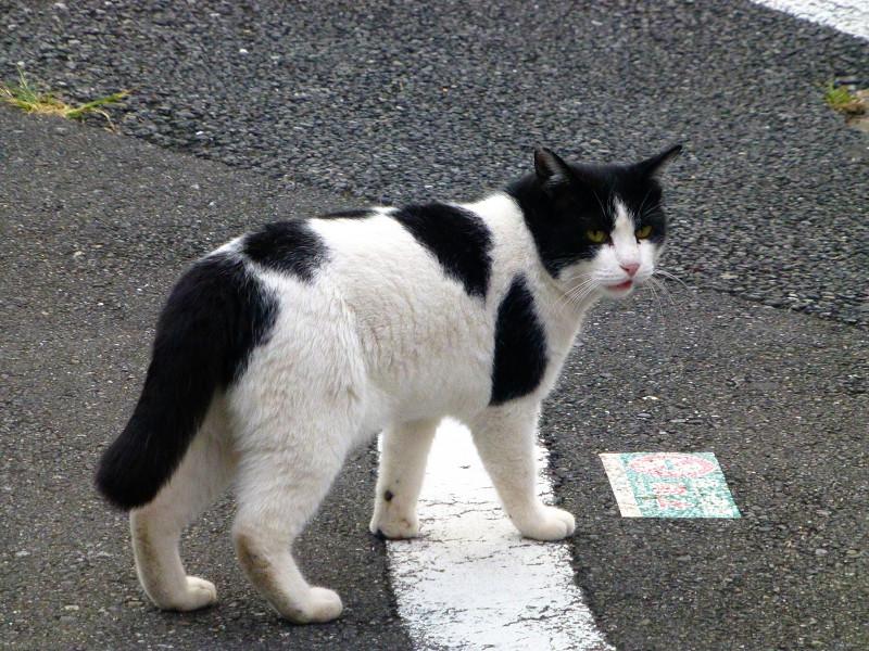 振り向きながら歩く白黒猫1