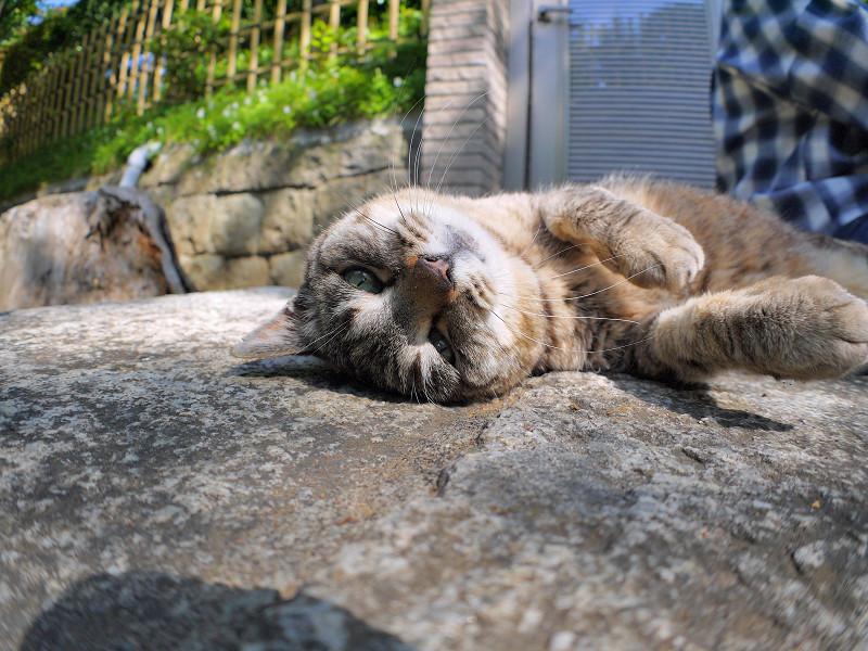 触られてるキジトラ猫1