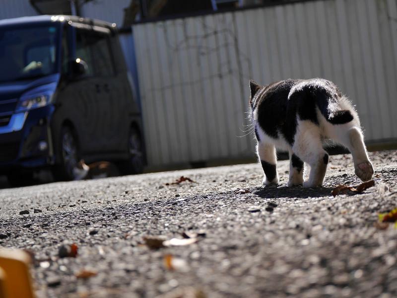 駐車場を彷徨く黒白猫1