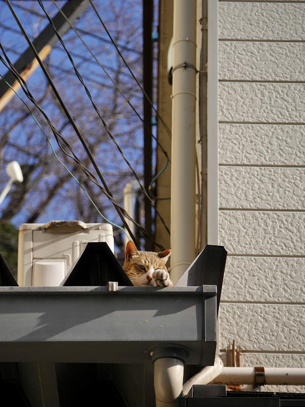 三角屋根のキジ白猫1