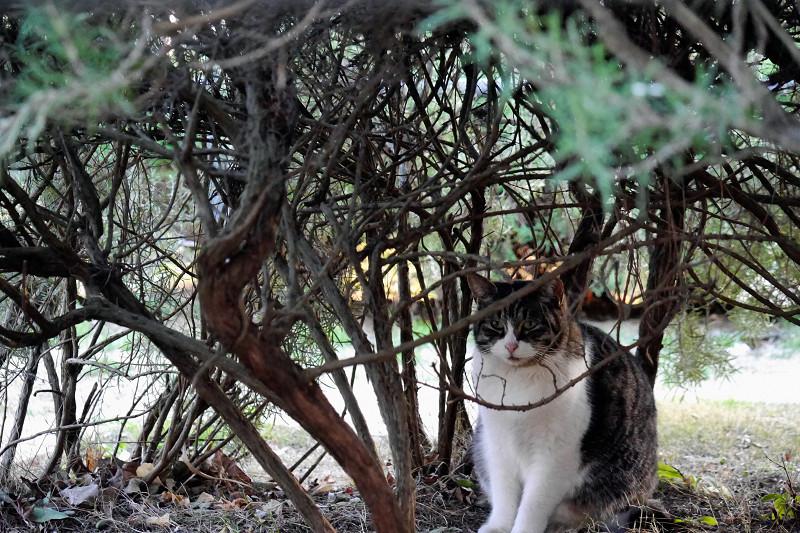 低木植え込みと猫1