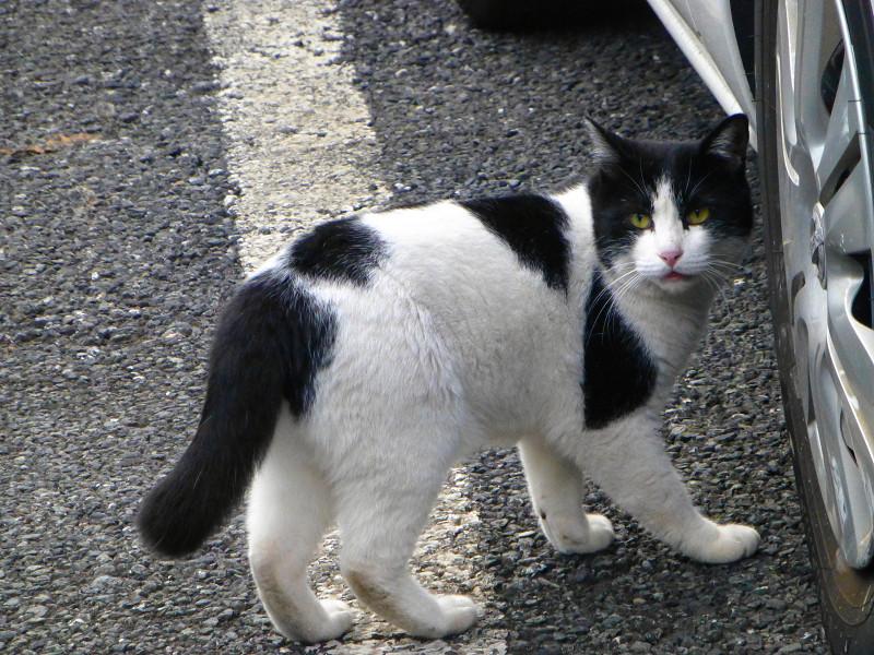 振り向きながら歩く白黒猫2