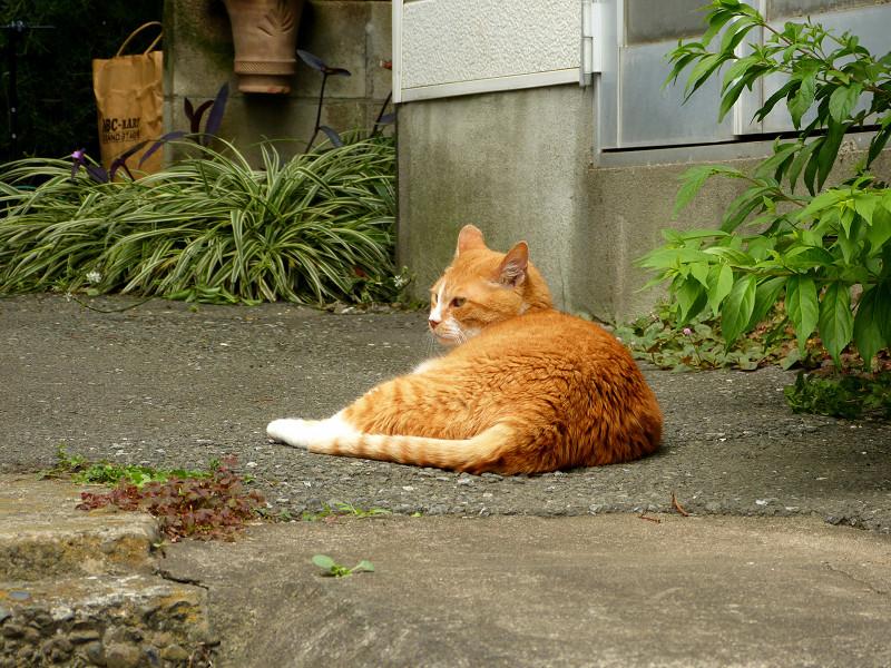 細い路地の茶白猫2