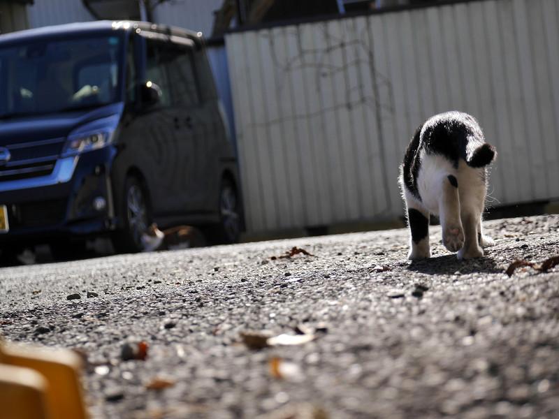 駐車場を彷徨く黒白猫2