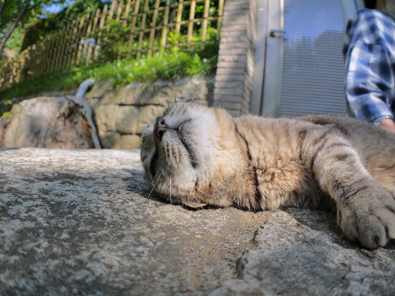 触られてるキジトラ猫3