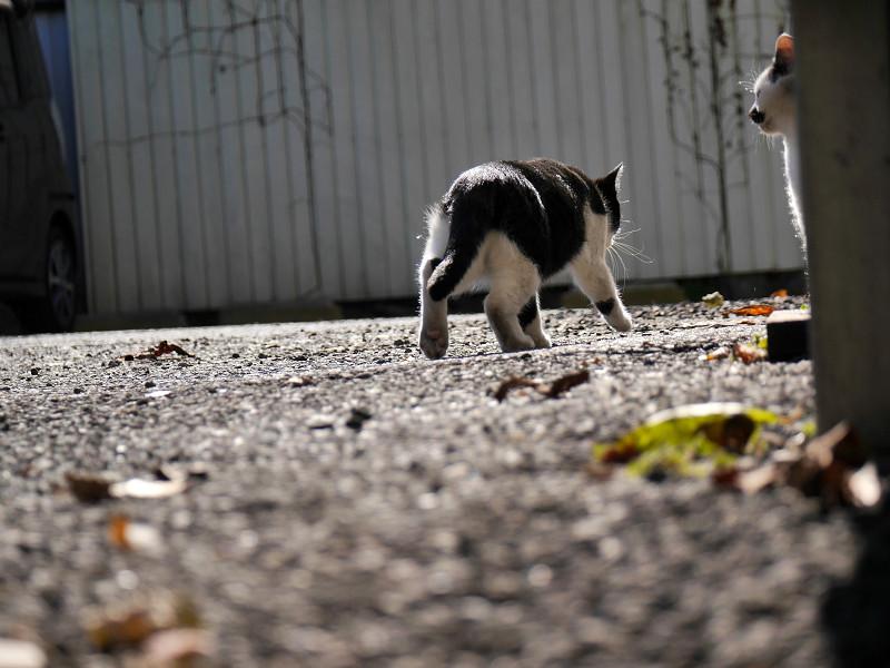 駐車場を彷徨く黒白猫3