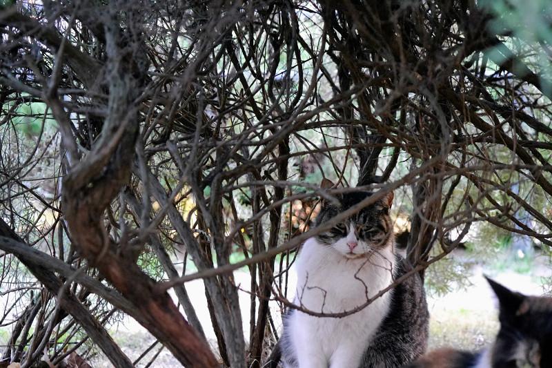 低木植え込みと猫3
