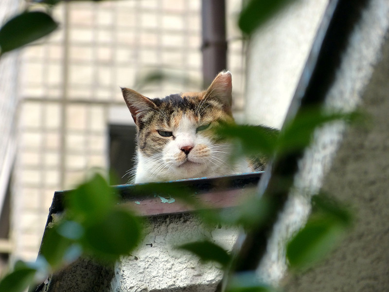 庇の三毛猫1
