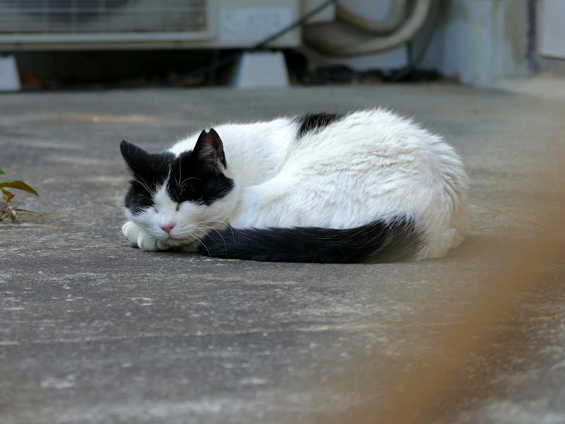 尻尾を丸めて寝てる白黒猫1